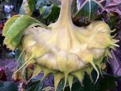 Back of sunflower head