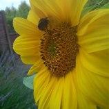 Bee on yellow sunflower