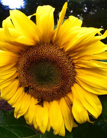 Bees on yellow sunflower