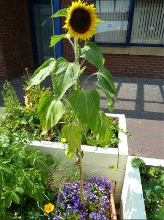 Sunflower grown by Gardens for All