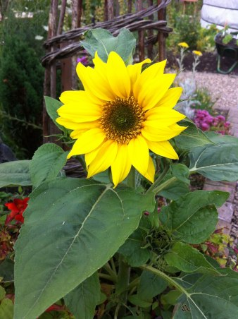 Sunflower grown at Girvan Community Garden