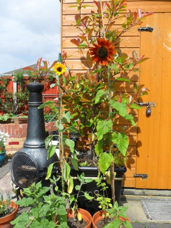 Sunflowers grown by Mark in Great Sutton