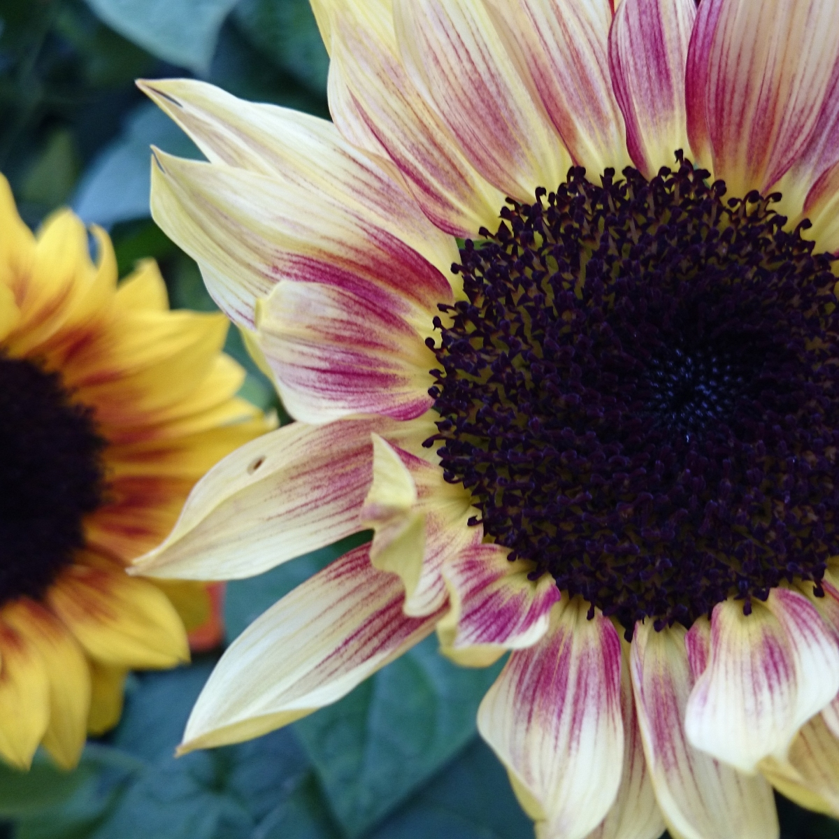 Pink and gold sunflowers