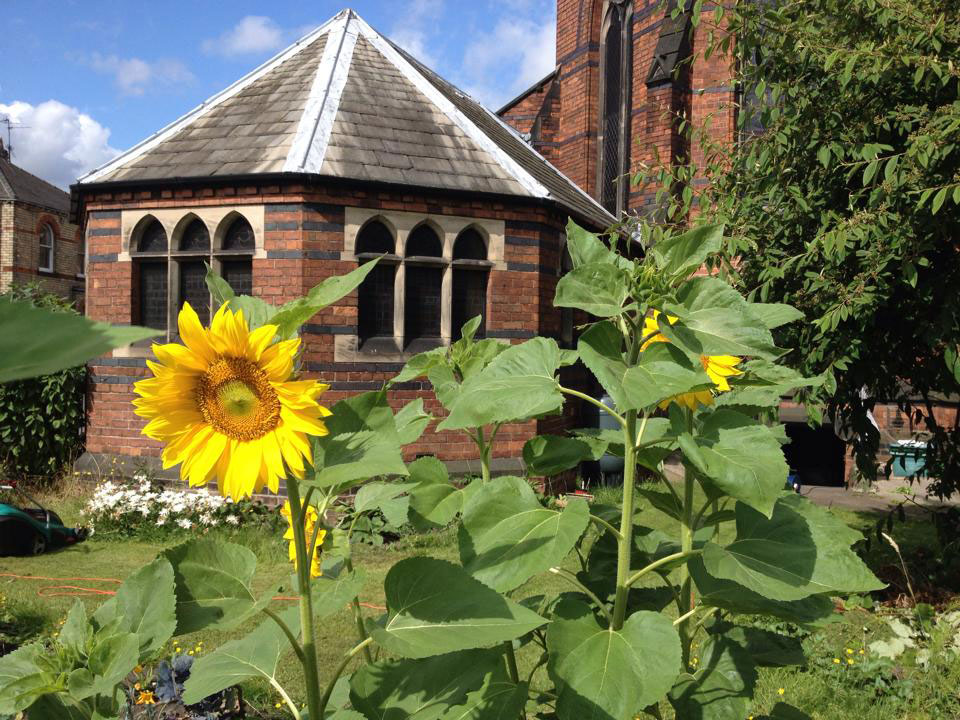 Sunflowers grown by Planet South Bank in York