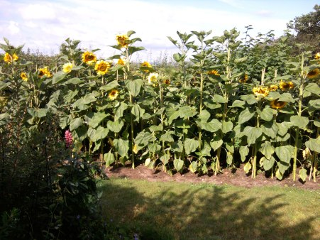 Sunflowers grown by Rachel in Oswestry