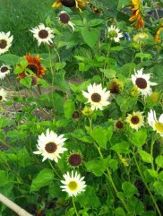 Sunflowers grown by Rekha in Middlesex