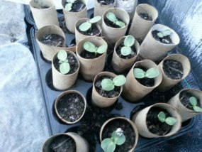 Sunflower seedlings in toilet rolls