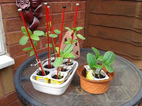 Sunflower seedlings in yogurt pots