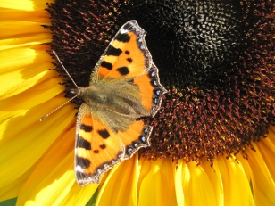Butterfly on dwarf sunflower