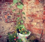 Sunflower grown in toilet