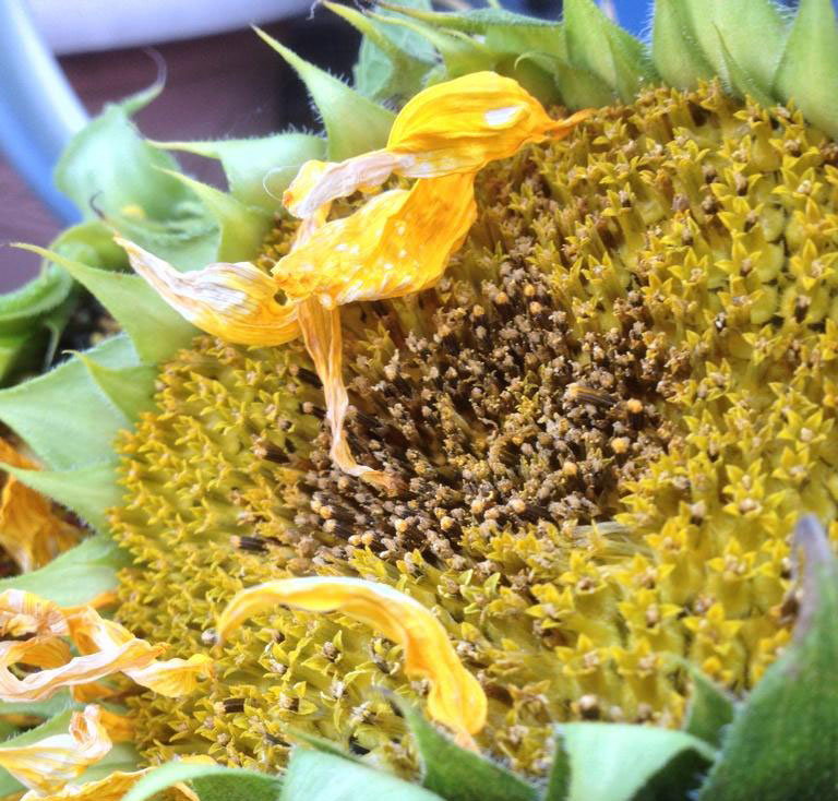 Pollen on sunflower head