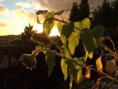 Sunflower-in-evening-sun