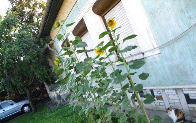 Sunflowers grown in Hungary