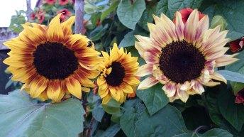 Three-sunflowers