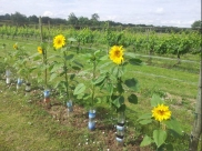 Sunflowers at Warden Abbey Vneyard in Bedfordshire