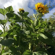 Sunflowers grown by Warren Hill Primary school