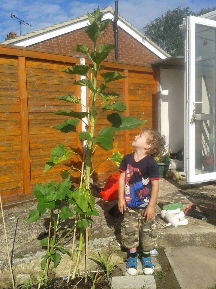 Young boy and tall sunflower