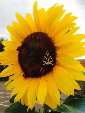 milford-pre-school-sunflower