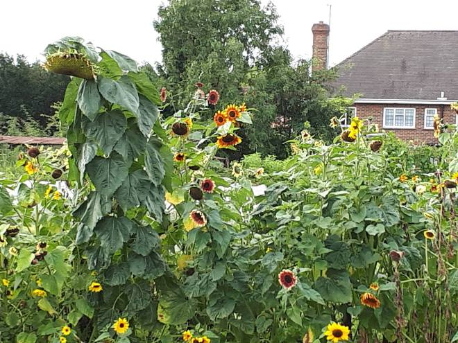 Sunflowers grown at Fulborn Primary School