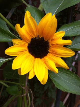 Sunflower grown by Nish