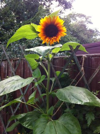 Sunflower grown by Nish