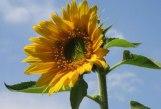 Sunflower grown in Bavaria
