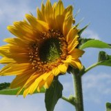 Sunflower grown in Bavaria