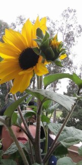 Sunflower grown in California