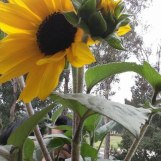Sunflower grown in California