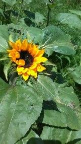 Sunflower grown in Ecquador