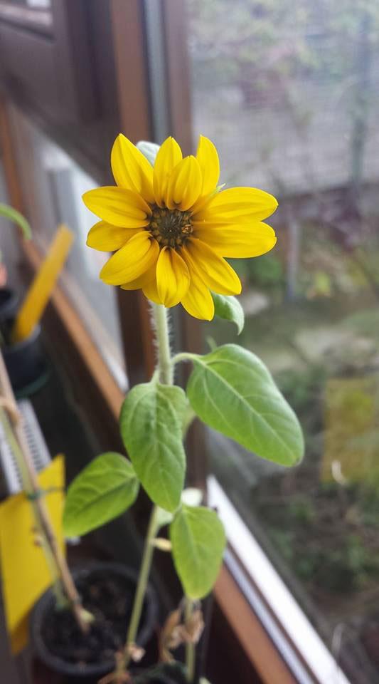 Sunflower grown in Germany
