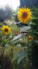 Sunflower grown in London