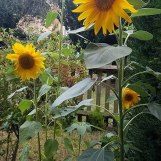 Sunflower grown in London