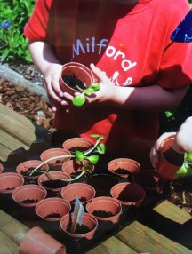 Potting out sunflowers at Milford Pre-School.