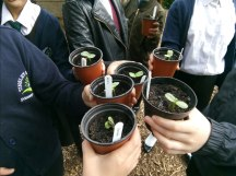 Growing sunflowers at Tinsley community allotment.