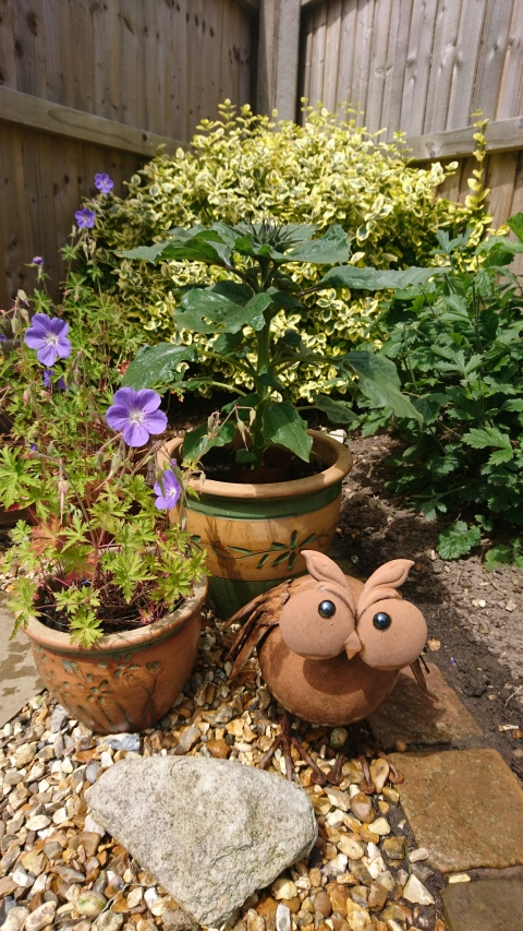 Dwarf sunflower and Ollie owl.