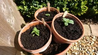 Sunflower seedlings in Chester.