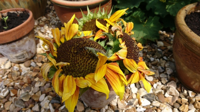 Sunflower heads drying out in the sun.