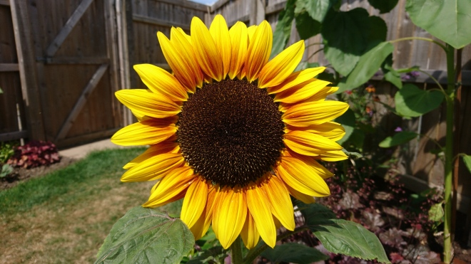 Dwarf sunflower.
