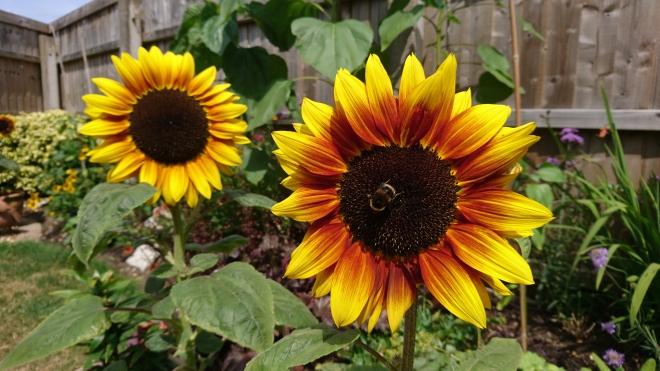Dwarf sunflowers.