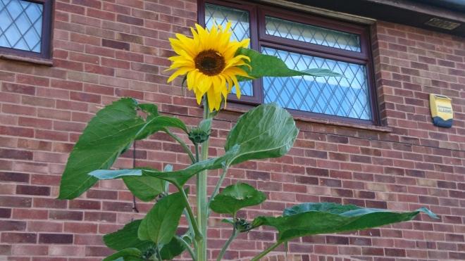 Giant sunflower.