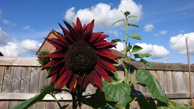Dark red sunflower.