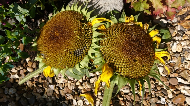 Sunflower heads.