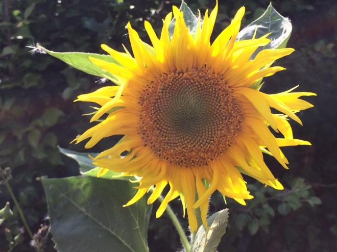 Sunflower grown by Linda.