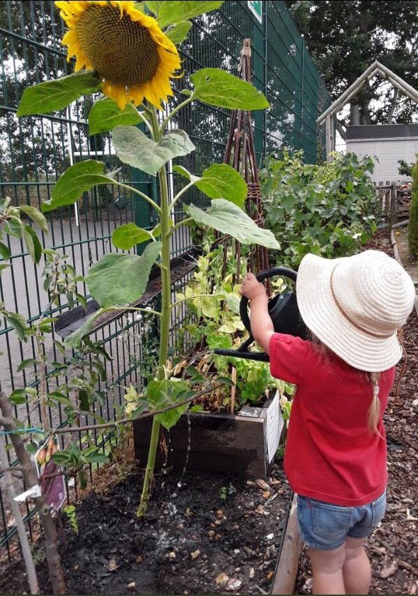 Watering sunflowers.