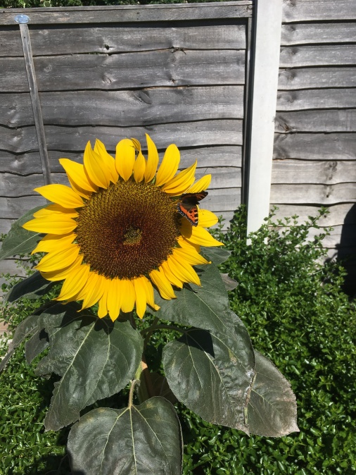 Sunflower grown by pupil at Oldfield primary school.