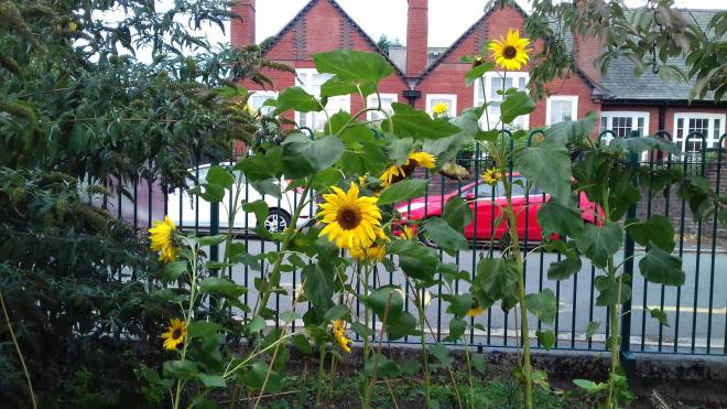 Sunflowers grown at Westminster Primary School, Ellesmere Port.