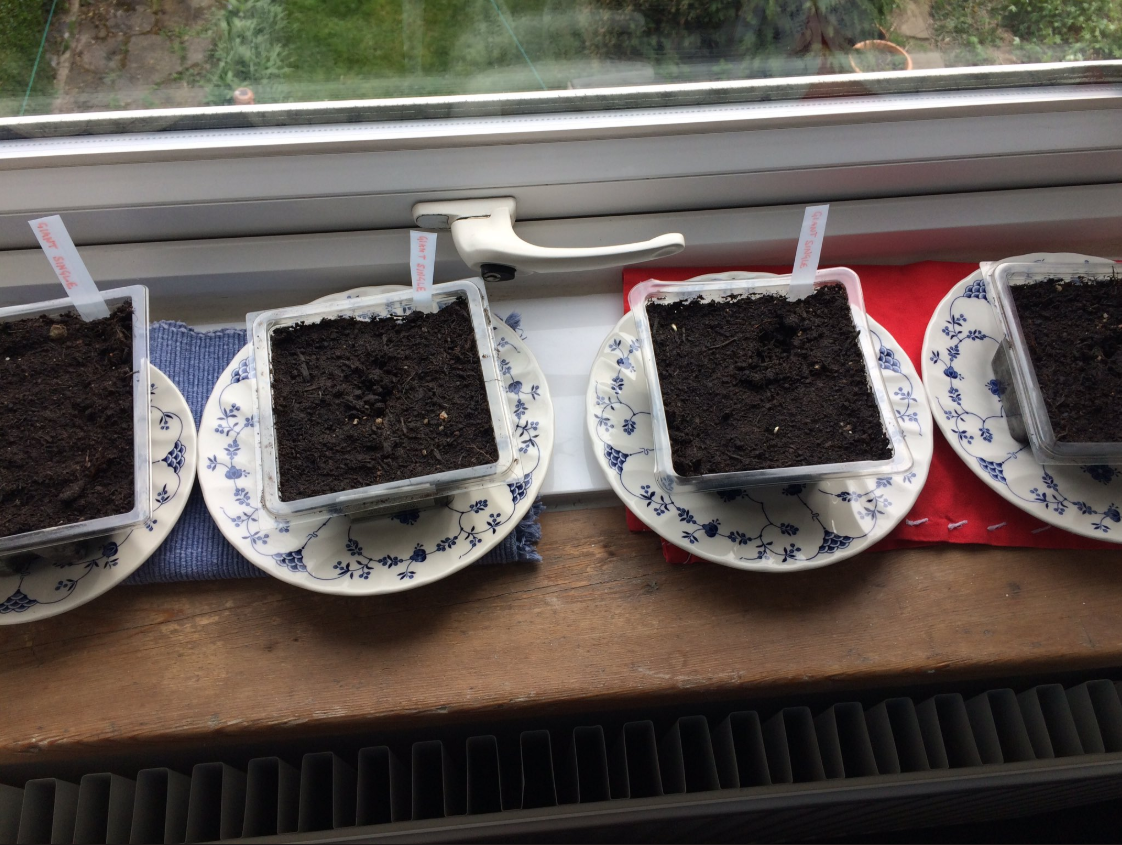 Newly planted sunflowers,