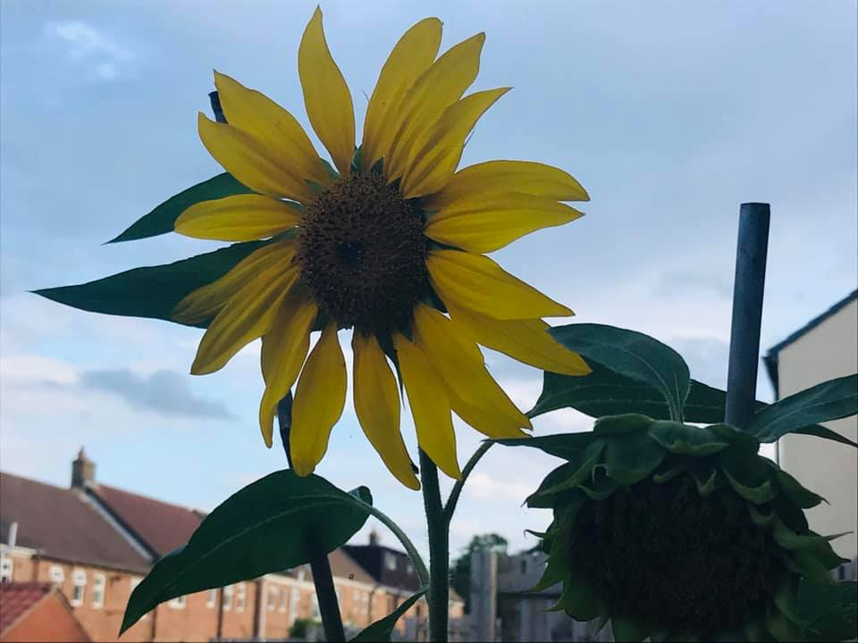 Sunflower grown by Laceymay and her boys.