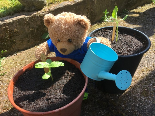 Jade bear at Tinsley Meadows Primary school watering his sunflowers.